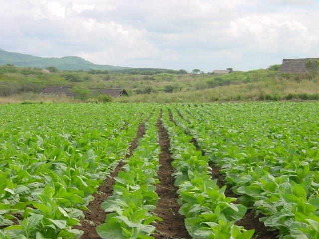 Tobacco farmers earn K180bn   Cigarettes news and tobacco ...
